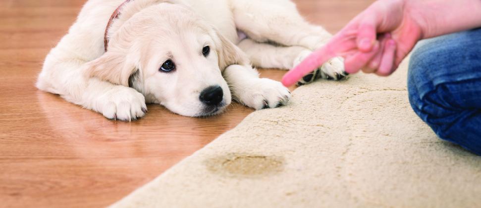 Educar a tu mascota: Tapete sanitario dentro de casa