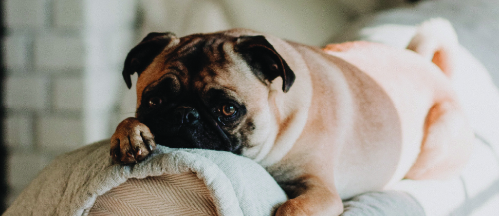 ¡Quedarse en casa puede ser divertido! Cuarentena canina: cambio de rutina y juegos.